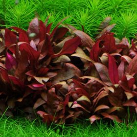Tropica plante in vitro Alternanthera reineckii Mini, plante aquatique