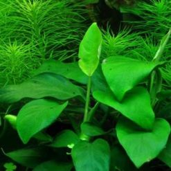 Anubia Barteri var Nana plante Tropica pour aquarium
