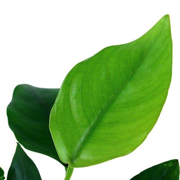 Anubias nana anubia barteri var nana