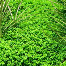 Plante aquatique in vitro tropica Hemianthus callitrichoides Cuba