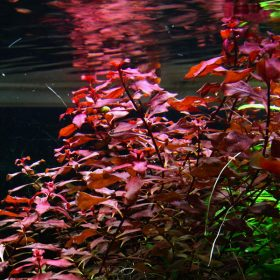 Ludwigia palustris super red