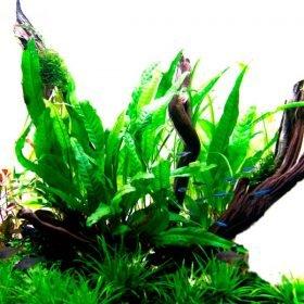 microsorum pteropus plante aquarium Tropica