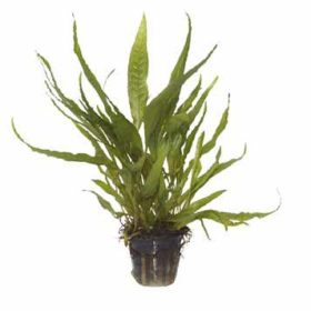 plante tropica microsorum pteropus décor aquarium