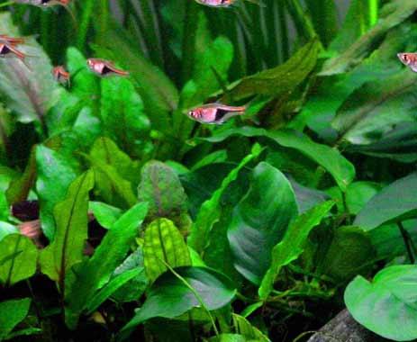 Tropica plante in vitro Cryptocoryne wendtii 'Green' plante d'aquariophilie