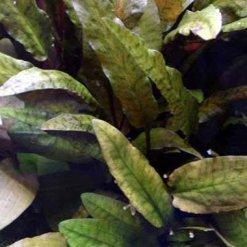 tropica cryptocoryne wendtii brown plante pour aquarium