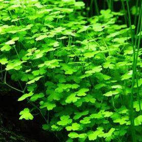 Tropica plante in vitro Hydrocotyle tripartita plante pour aquarium