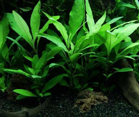 Tropica in vitro Hygrophila 'Siamensis 53B pour aquarium