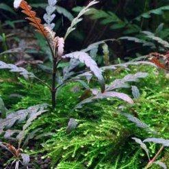Tropica Hygrophila pinnatifida plante in vitro pour aquarium