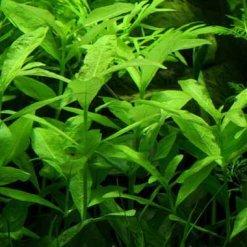 tropica hygrophila polysperma plante d'aquariophilie
