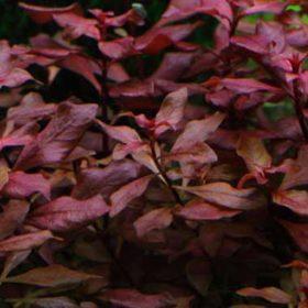 tropica ludwigia palustris est une plante pour aquarium