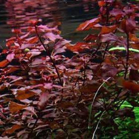 plante d'aquarium tropica ludwigia palustris