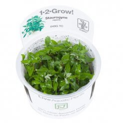 Tropica Staurogyne repens plante aquatique in vitro pour aquarium