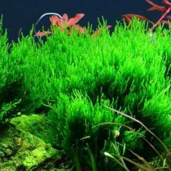 Tropica Taxiphyllum Flame mousse in vitro pour aquarium