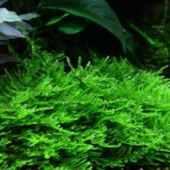 mousse in vitro tropica taxiphyllum spiky pour aquarium