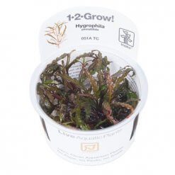 Plante aquatique in vitro Tropica Hygrophila pinnatifida pour aquarium
