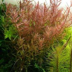 Tropica Rotala rotundifolia plante in vitro pour aquarium