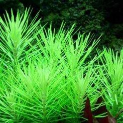 plante aquatique Tropica Pogostemon erectus in vitro