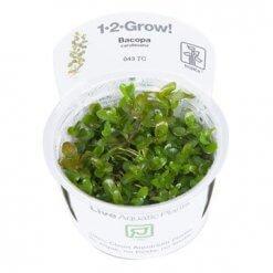 Tropica plante aquatique in vitro Bacopa caroliniana pour aquarium