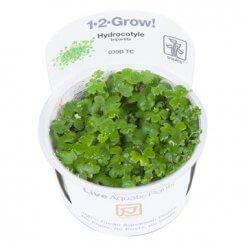 Tropica plante in vitro Hydrocotyle tripartita plante aquatique pour aquarium