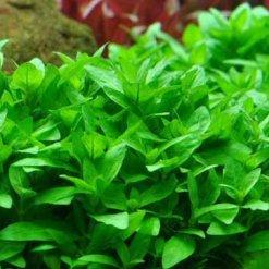 Tropica Staurogyne repens plante in vitro pour aquarium