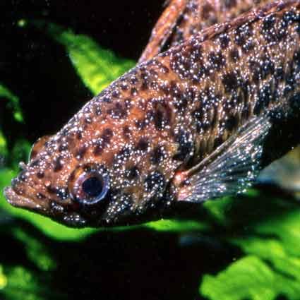 JBL Punktol est un traitement contre la maladie des points blancs pour les poissons