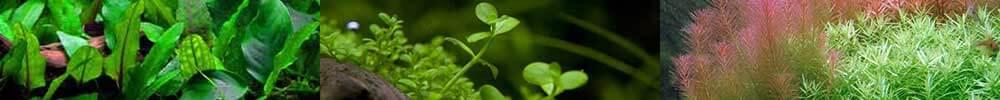 plantes d'aquariums et gazonnantes plantes aquatiques