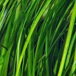 Vallisneria Spiralis Tiger pot Tropica