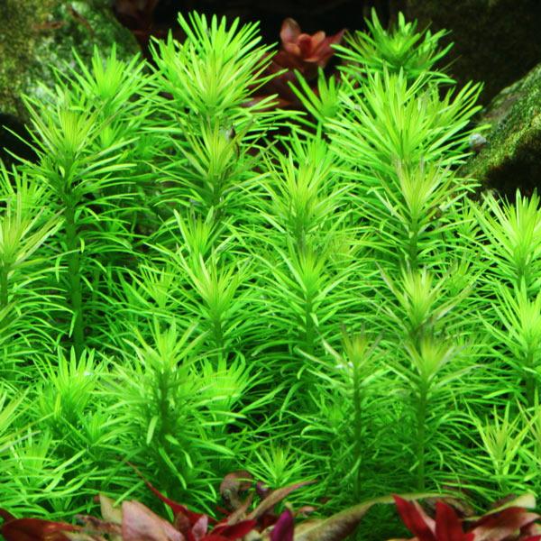 Pogostemon Erectus Deccanensis plante aquarium