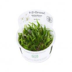 Plante aquarium Tropica Helanthium Tenellum 'Green' In vitro