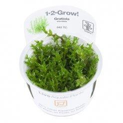 Gratiola viscidula plante aquatique pour aquarium aquascaping