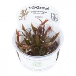 plante aquatique Cryptocoryne undulatus Red en in vitro