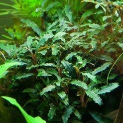 Bucephalandra Sp. Red Plante Tropica pour aquarium