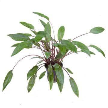 Cryptocoryne Beckettii 'Petchii' plante facile pour aquarium tropica