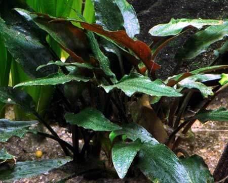 Cryptocoryne Beckettii 'Petchii' plante pour aquarium tropica
