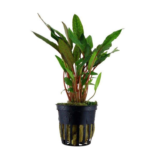 Cryptocoryne Beckettii Petchii plante pour aquarium tropica