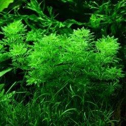 Limnophila sessiliflora plante aquatique