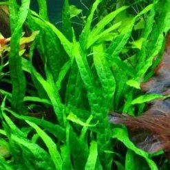 plante aquatique Microsorum pteropus Narrow