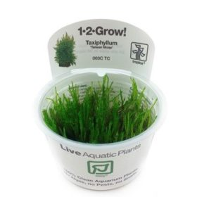 Taxiphyllum Taiwan Moss mousse aquatique pour aquarium aquascaping