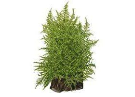 Taxiphyllum Taiwan Moss plante mousse pour aquarium