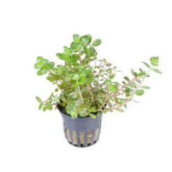 Rotala Rotundifolia plante pour aquarium Tropica en pot