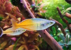 Melanotaenia Boesemani poisson arc-en-ciel aquarium australo-guinéen