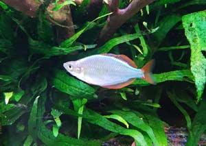 Melanotaenia Praecox poisson arc-en-ciel aquarium australo-guinéen