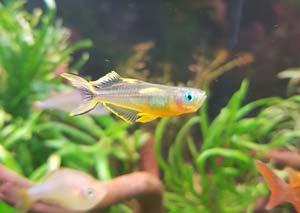 Pseudomugil Furcatus poisson australo-guinéen