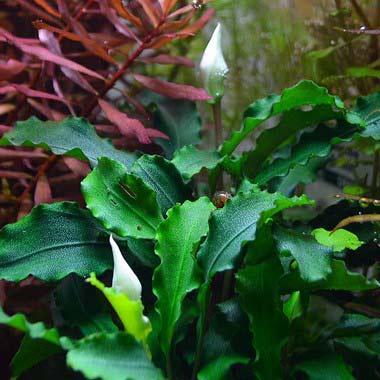 Bucephalandra Wavy Green plante aquatique Tropica