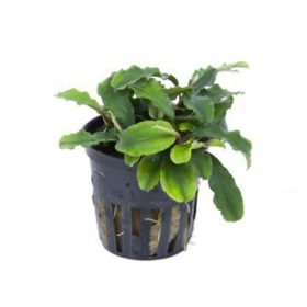Bucephalandra Wavy Green plante pour aquarium