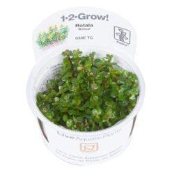 plante rotala bonsai in vitro Tropica
