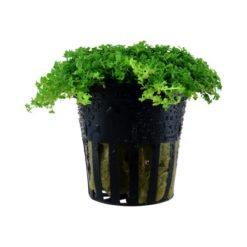 Hemianthus Callitrichoides cuba plante aquarium tropica