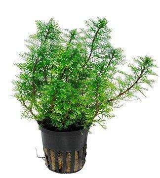 plante aquaique Lot 3x Myriophyllum mattogrossense