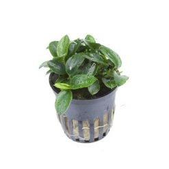 plante aquatique anubia petite