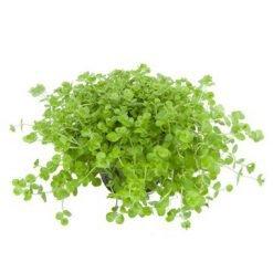 lot de 3 plantes aquatiques Micranthemum umbrosum